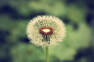 highly-sensitive-people dandelion